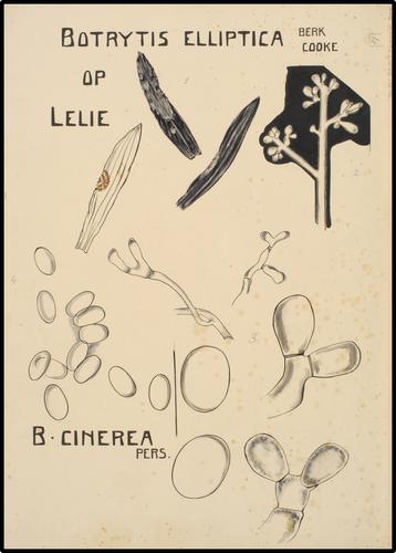 Botrytis Elliptica op lelie Berk Cooke
