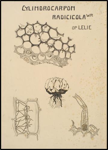 Cylindrocarpon Radicicola wr op lelie