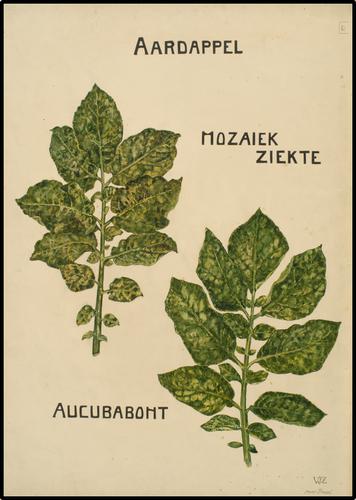 Aardappelblad aangetast door mozaiekziekte en aucubabont