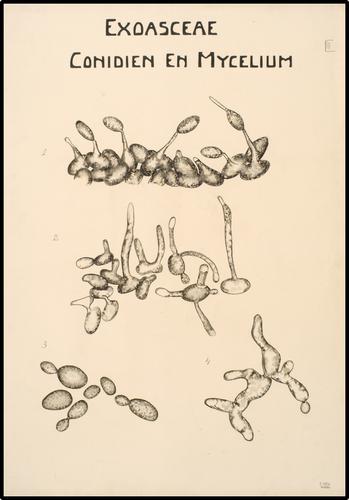 Exoasceae Conidien En Mycelium
