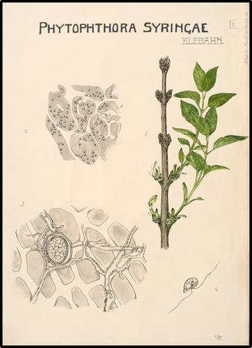 Phytophthora syringae