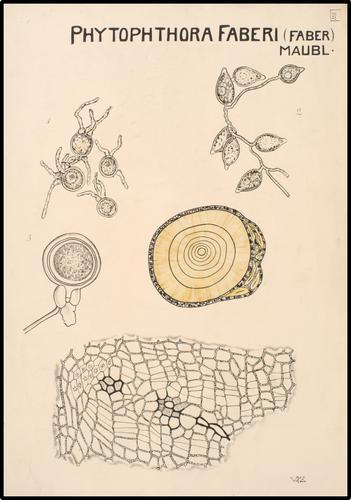 Phytophthora faberi