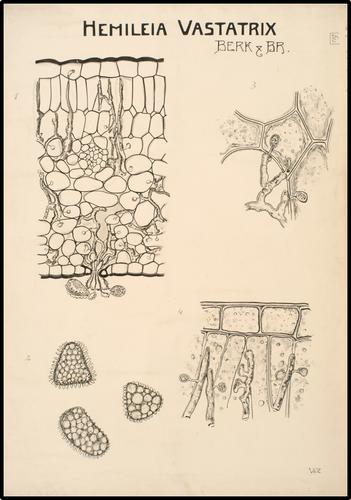 Hemileia Vastatrix
