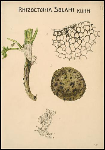 Rhizoctonia Solani Kuhn