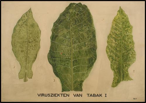 Virusziekten van tabak I