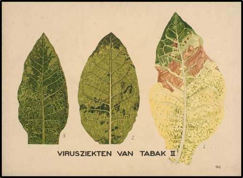 Virusziekten van tabak II
