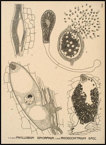 1, 2 en 3 Phyllobium dimorphum - 4 en 5 Rhodochytrium spec.