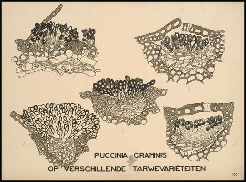 Puccinia graminis op verschillende tarwevariëteiten