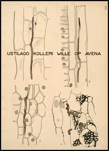 Ustilago kolleri Wille op Avena