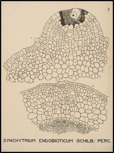 Synchytrium endobioticum (Schilb) Perc.