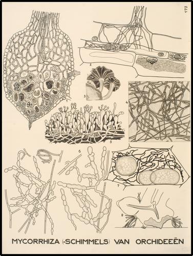 Mycorrhiza (-schimmels) van orchideeën