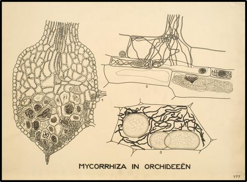 Mycorrhiza in orchideeën