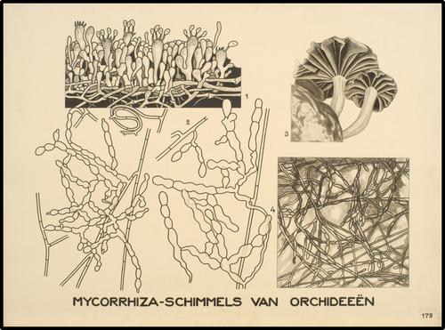 Mycorrhiza-schimmels van orchideeën