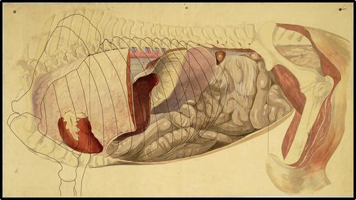 Thorax en abdomen van het paard