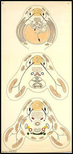 Schematische dwarsdoorsnede door de romp van een mens