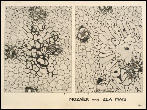 Mozaiek van Zea mais