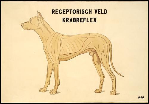 Receptorisch veld krabreflex