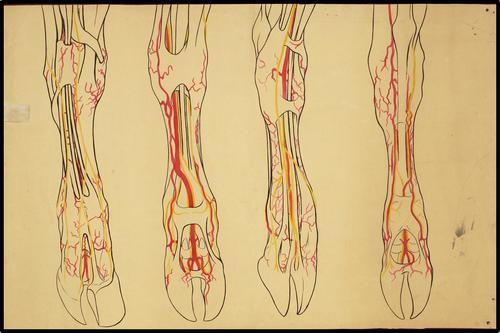 Anatomische bouw onderbeen en klauwen herkauwer