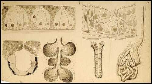 Huidklieren, waaronder zweet- en talgklier