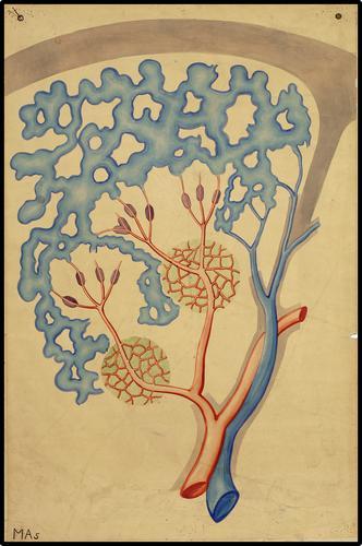 Microscopische anatomie van de milt
