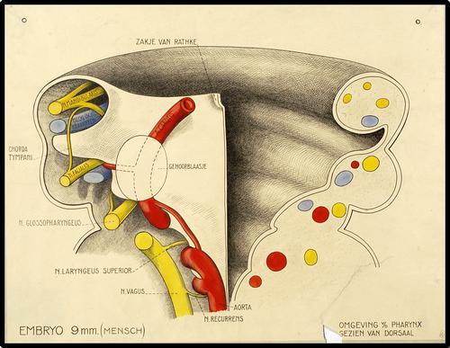 Het menselijk embryo