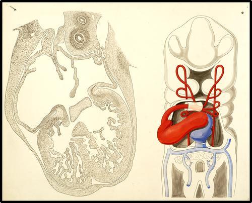 De embryonale ontwikkeling van het hart