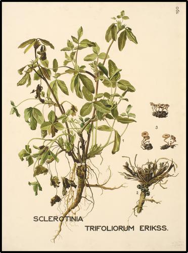 Sclerotinia trifoliorum Erikss.