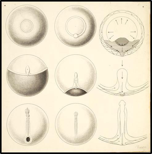 De embryonale ontwikkeling van vissen
