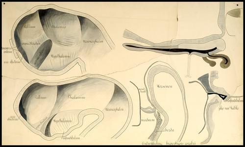 Ontwikkeling van de hypofyse