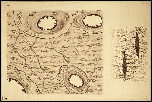 Botweefsel van de menselijke fibula