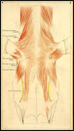 Zenuwen en spieren van het paardenhoofd