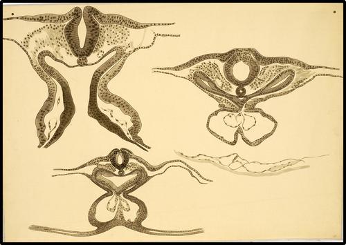 Embryonale ontwikkeling