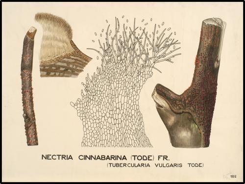 Nectria cinnabarina (Tode) Fr.
