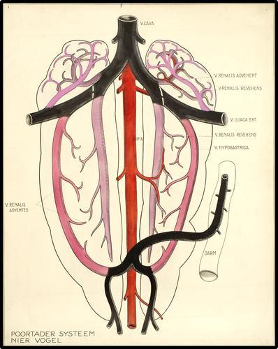 Poortadersysteem van de nier van een vogel