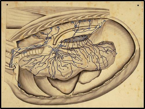 Doorsnede borstholte met lymfedrainage