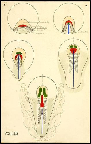 Embryonale ontwikkeling van vogels