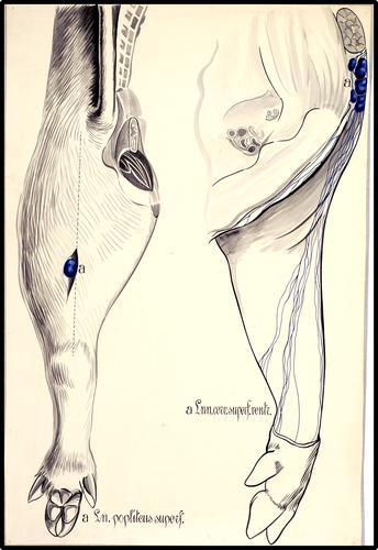 Lymfknopen van voor- en achterbeen van het varken