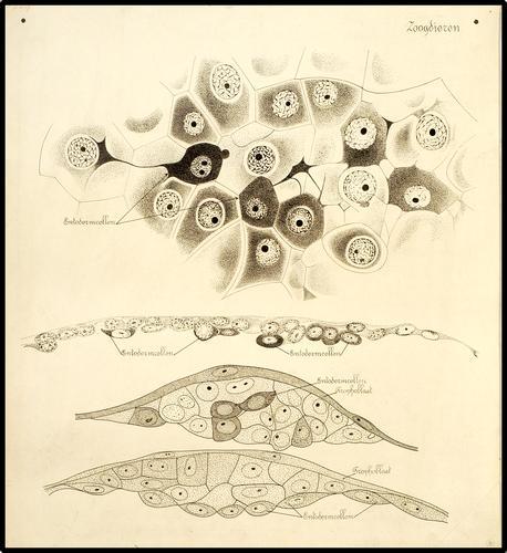 Embryonale ontwikkeling van zoogdieren