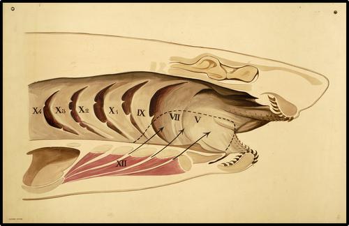 Anatomie van de haai