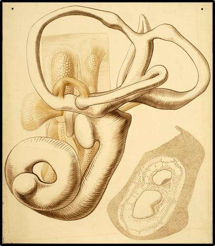 Anatomie van het binnenoor