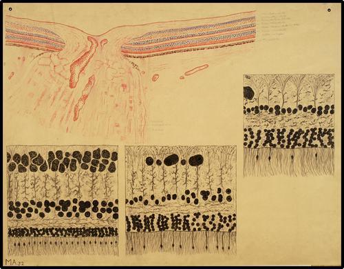 Microscopische anatomie van het oog, o.a. het netvlies