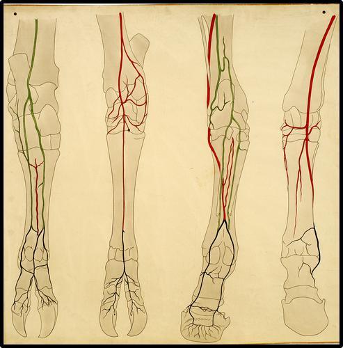 Anatomie van de onder-achterbenen van rund en paard