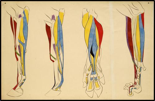 Anatomie van de voorbenen van verschillende diersoorten