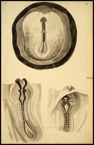 Embryonale ontwikkeling; neuraalgroeve