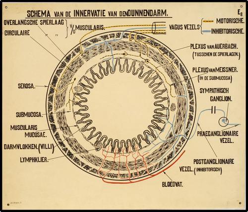 Schema van de innervatie van de dunne darm