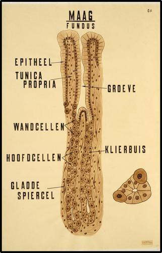 Anatomie van de maag: fundus