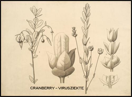 Cranberry-virusziekte
