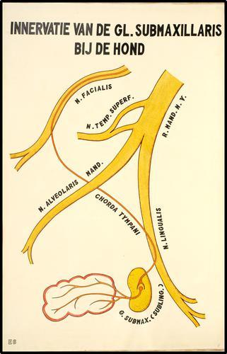 Innervatie van de glandula submaxillaris bij de hond