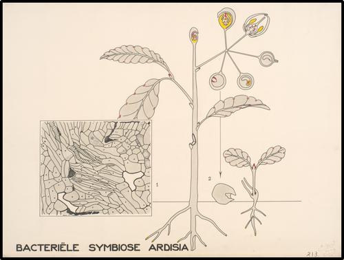 Bacteriële symbiose Ardisia