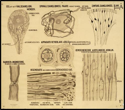 Onderwijsplaat m.b.t. het dierlijk zenuwstelsel